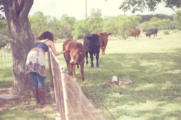 cows6